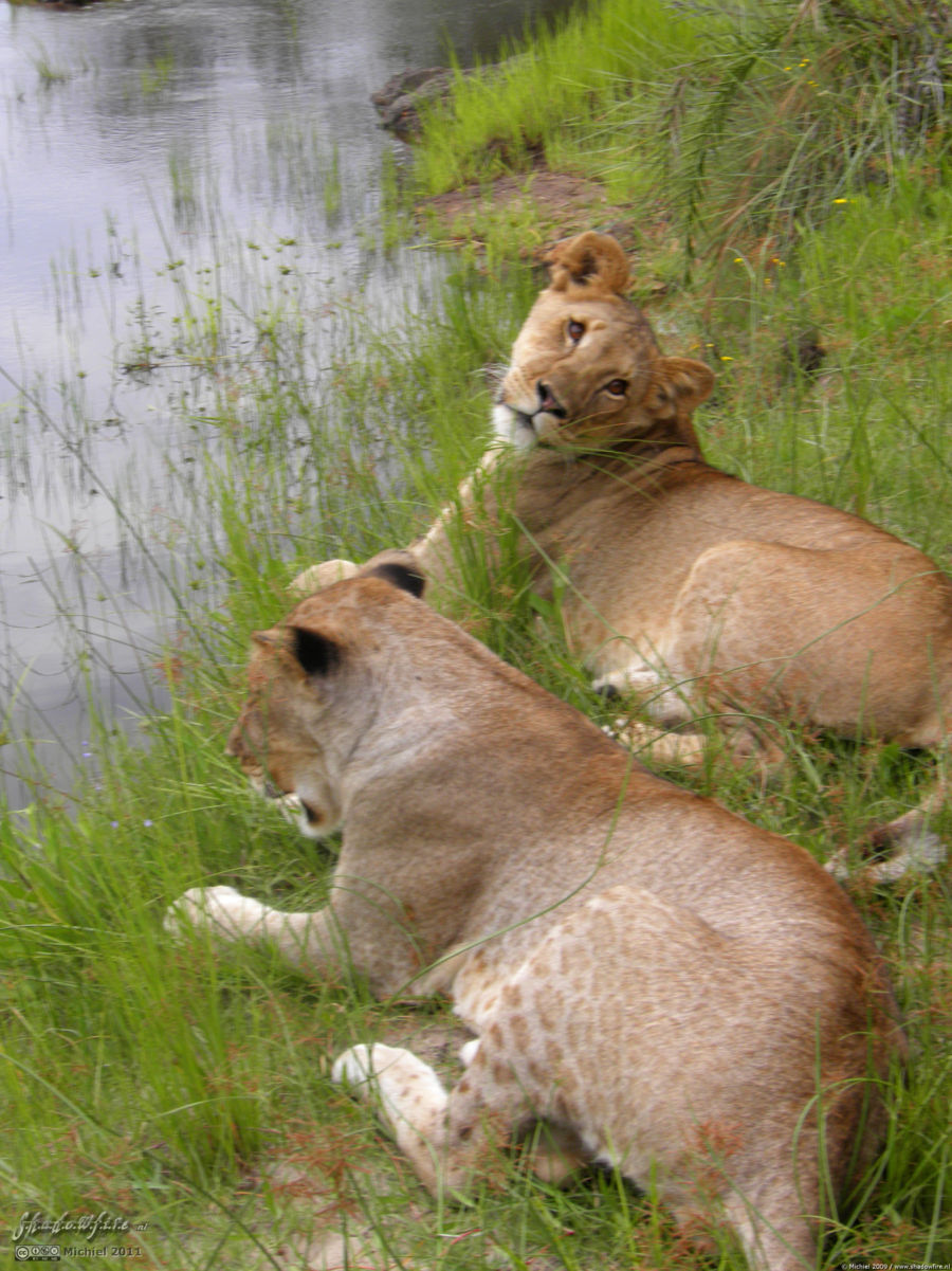 lion, Lion Encounter, Livingstone area, Zambia, Africa 2011,travel, photography,favorites