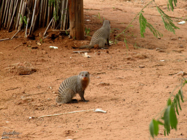 mongoose, Chobe Safari Lodge, Botswana, Africa 2011,travel, photography