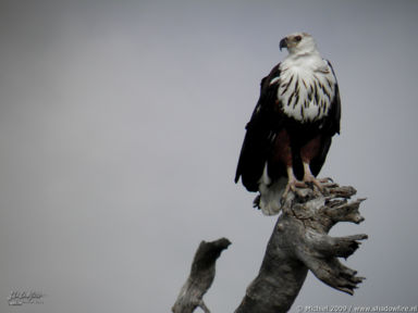 fish eagle, Chobe NP, Botswana, Africa 2011,travel, photography,favorites