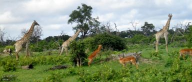 impala, giraffe, Chobe NP, Botswana, Africa 2011,travel, photography,favorites