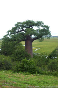 Baobab, Namibia border, Botswana, Africa 2011,travel, photography,favorites