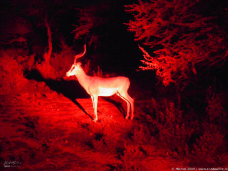 impala, night drive, Etosha NP, Namibia, Africa 2011,travel, photography