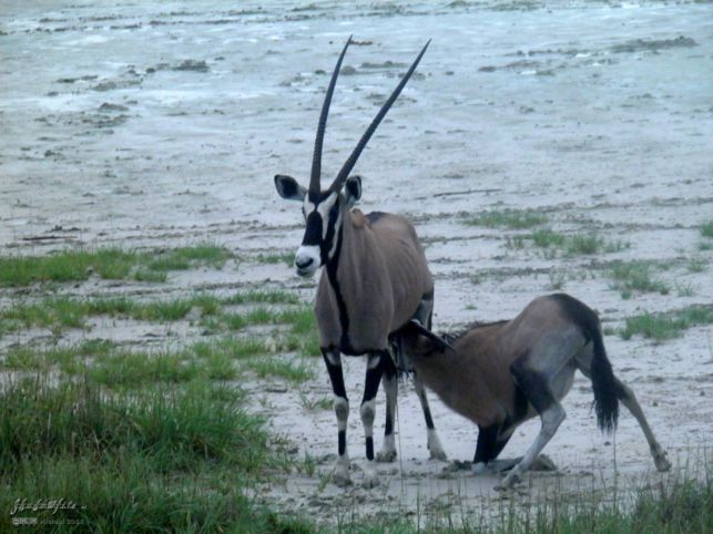 oryx, Etosha Pan, Etosha NP, Namibia, Africa 2011,travel, photography,favorites