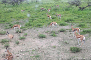 springbok, Etosha NP, Namibia, Africa 2011,travel, photography,favorites