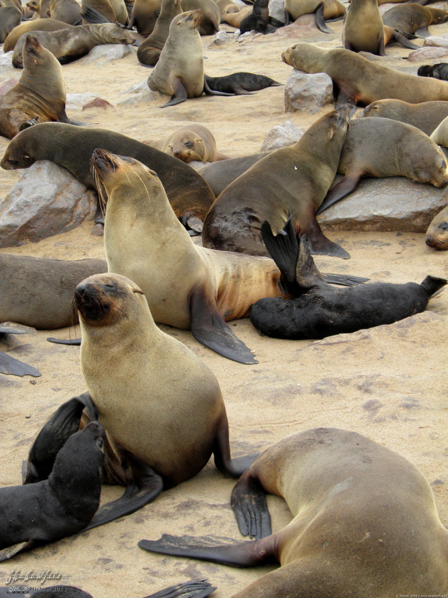 seal, Cape Cross, Skeleton Coast, Namibia, Africa 2011,travel, photography
