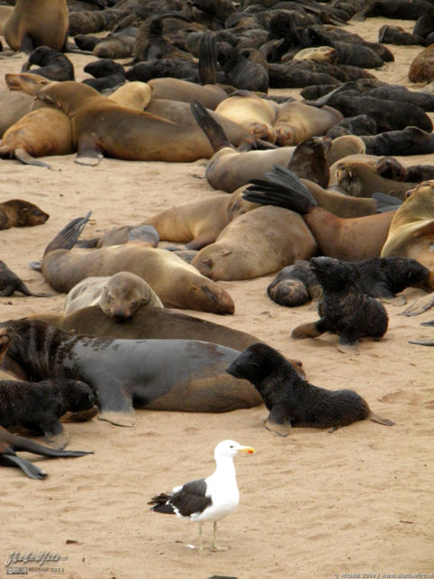 seal, Cape Cross, Skeleton Coast, Namibia, Africa 2011,travel, photography,favorites