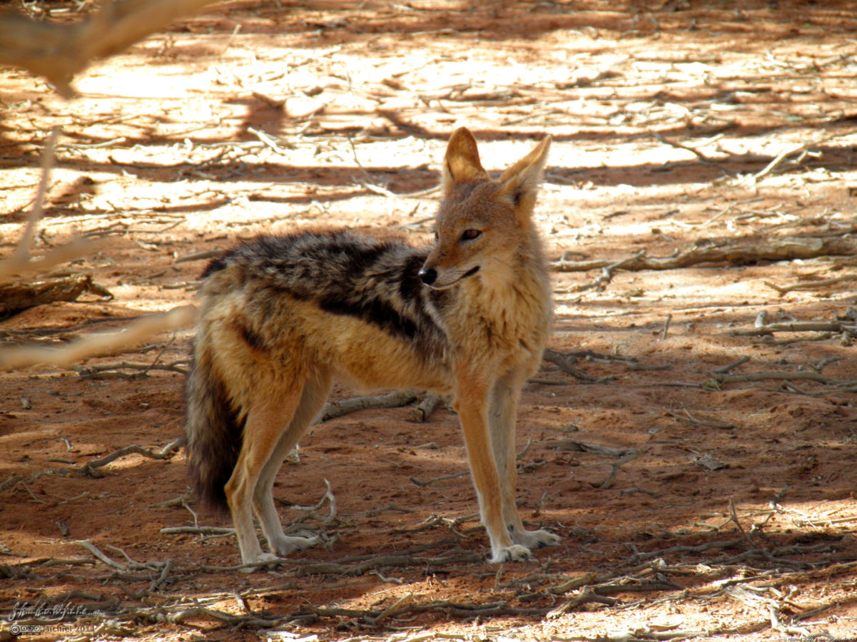 jackal, Sossusvlei, The Sand Dune Sea, Namib Desert, Namibia, Africa 2011,travel, photography