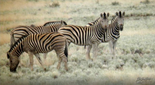 zebra, Namibia, Africa 2011,travel, photography,favorites