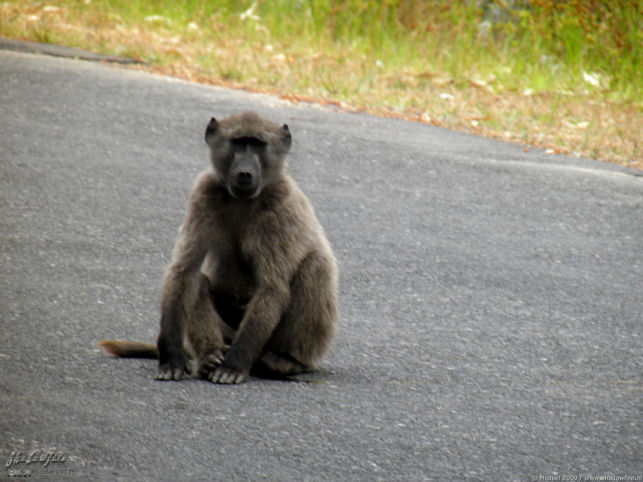 baboon, Cape Peninsula, South Africa, Africa 2011,travel, photography
