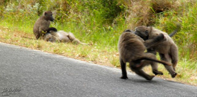 baboon, Cape Peninsula, South Africa, Africa 2011,travel, photography,favorites