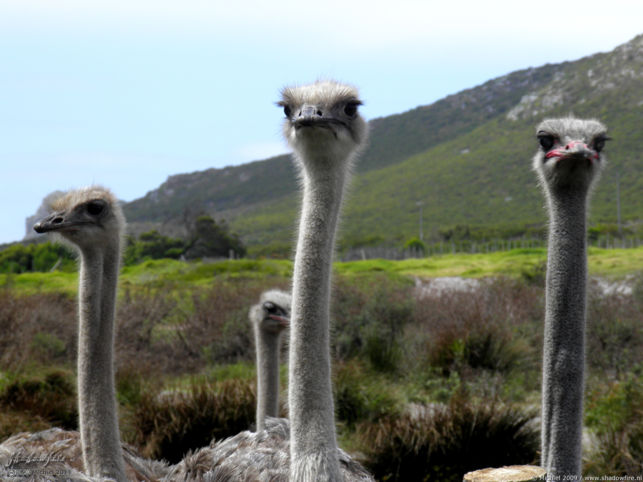 ostrich, ostrich farm, Cape Peninsula, South Africa, Africa 2011,travel, photography,favorites