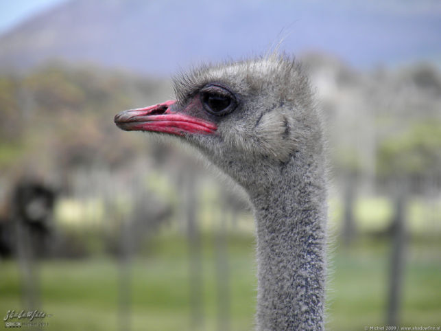 ostrich, ostrich farm, Cape Peninsula, South Africa, Africa 2011,travel, photography