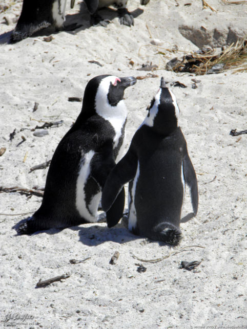penguin, Penguin Colony, The Boulders, Cape Peninsula, South Africa, Africa 2011,travel, photography