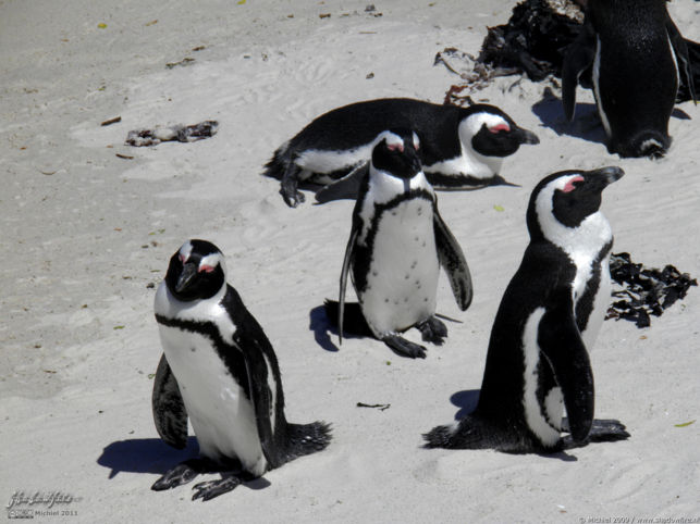 penguin, Penguin Colony, The Boulders, Cape Peninsula, South Africa, Africa 2011,travel, photography,favorites