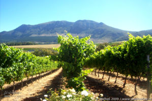 vineyard, Wynberg, Cape Peninsula, South Africa, Africa 2011,travel, photography