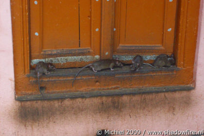 Karni Mata rat temple, Deshnok, Rajasthan, India, India 2009,travel, photography