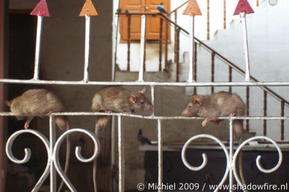 Karni Mata rat temple, Deshnok, Rajasthan, India, India 2009,travel, photography,favorites