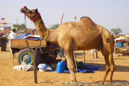 Camel Fair, Pushkar, Rajasthan, India, India 2009,travel, photography,favorites